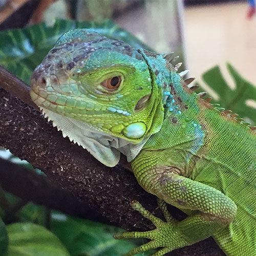 tega cay pet care iguana testimonial